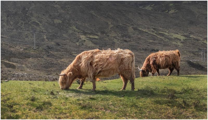 Scotland Isle of Skye Highland Cattle 2 May 2019