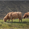 Scotland Isle of Skye Highland Cattle 2 May 2019