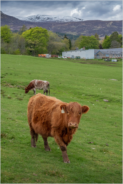 Scotland Cairngorm Farm near Loch Tummel 1 May 2019