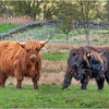 Scotland Cairngorms A924 Highland Cows 12 May 2019
