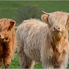 Scotland Cairngorms A924 Highland Cows 19 May 2019