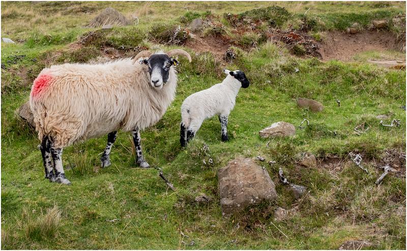Scotland Isle of Skye Sheep 4 May 2019