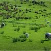 Scotland Highlands Sheep 3 May 2019