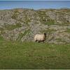 Scotland Isle of Iona Sheep 1 May 2019