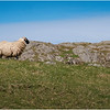 Scotland Isle of Iona Sheep 2 May 2019