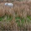 Scotland Kilchurn Sheep 1 May 2019