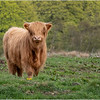 Scotland Cairngorms A924 Highland Cows 15 May 2019
