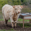Scotland Cairngorms A924 Highland Cows 11 May 2019