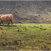 Scotland Isle of Skye Highland Cattle 1 May 2019