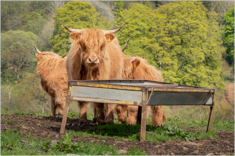 Scotland Cairngorms A924 Highland Cows 17 May 2019