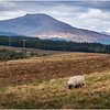Scotland Highlands Sheep 4 May 2019