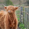 Scotland Cairngorms A924 Highland Cows 24 May 2019