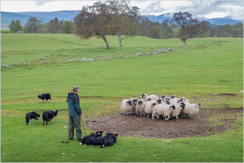 Scotland Kincraig Leault Farm Shearing 20  May 2019