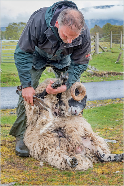 Scotland Kincraig Leault Farm Shearing 21  May 2019