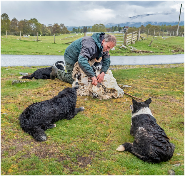 Scotland Kincraig Leault Farm Shearing 8  May 2019
