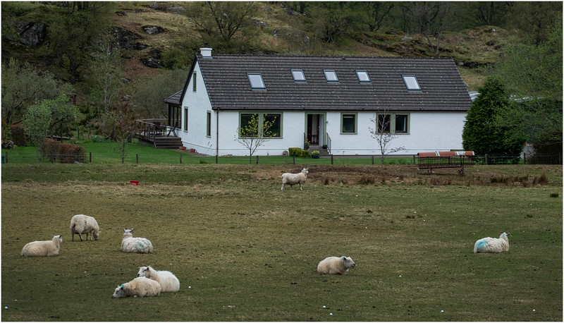 Scotland Inverarnan Sheep Farm 1  May 2019