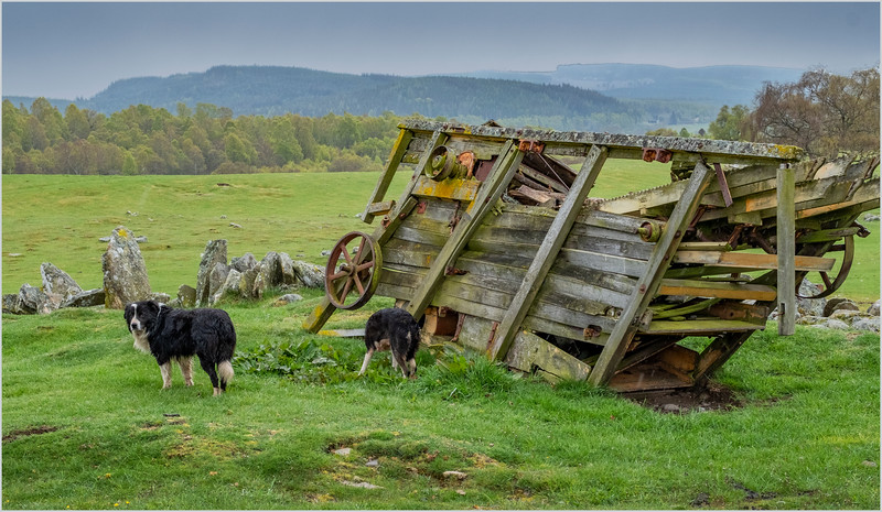 Scotland Kincraig Leault Farm Shearing 17  May 2019