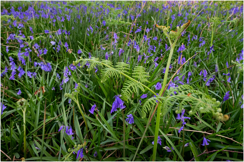 Scotland Drishaig Bluebells 2 May 2019