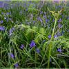 Scotland Drishaig Bluebells 2 May 2019