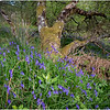 Scotland Drishaig Bluebells 1 May 2019