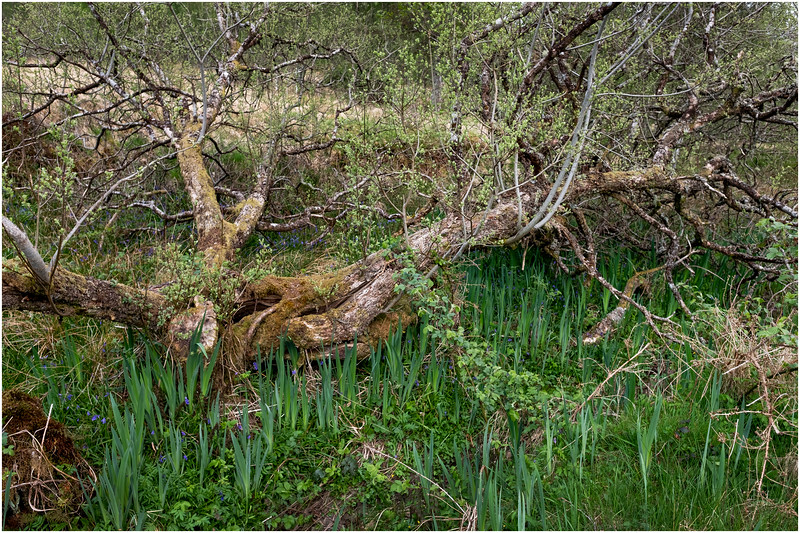 Scotland Glenfinnan Tree 1 May 2019