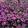 Scotland Luss Flowers 1 May 2019