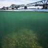 Stingray at the river bottom / Raia no fundo do rio