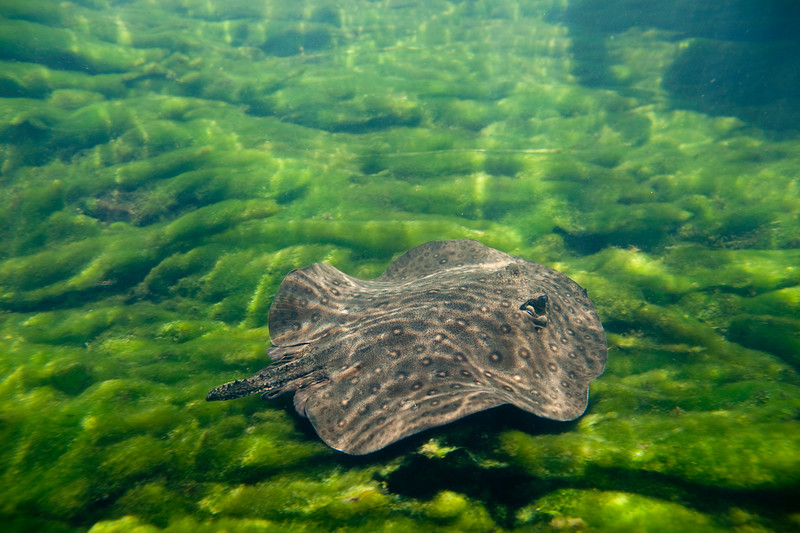 Freshwater stingray / Raias de água doce