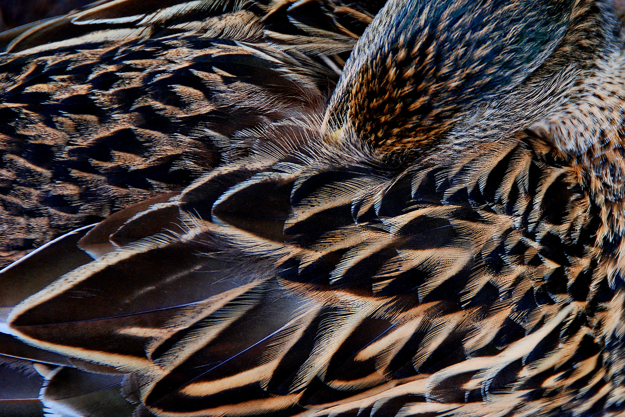Mallard sleeping.  I liked the pattern the feathers made.
