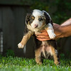 Rouger x Squirrel 2019 puppies-419