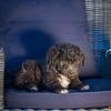 Puppies 8 weeks-309