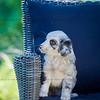 Puppies 8 weeks-349