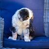 Puppies 8 weeks-360