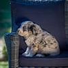 Puppies 8 weeks-326
