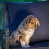 Puppies 8 weeks-304