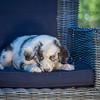 Puppies 8 weeks-337
