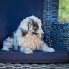 Puppies 8 weeks-339