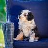 Puppies 8 weeks-351