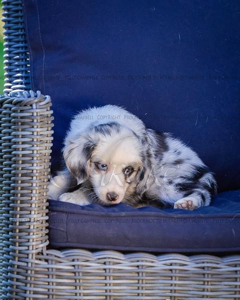 Puppies 8 weeks-366