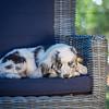 Puppies 8 weeks-334