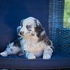 Puppies 8 weeks-338