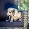 Puppies 8 weeks-346