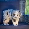 Puppies 8 weeks-332