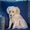 Puppies 8 weeks-345