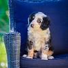 Puppies 8 weeks-358