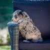 Puppies 8 weeks-327