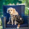Puppies 8 weeks-324
