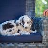 Puppies 8 weeks-333