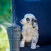 Puppies 8 weeks-348