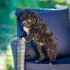 Puppies 8 weeks-314